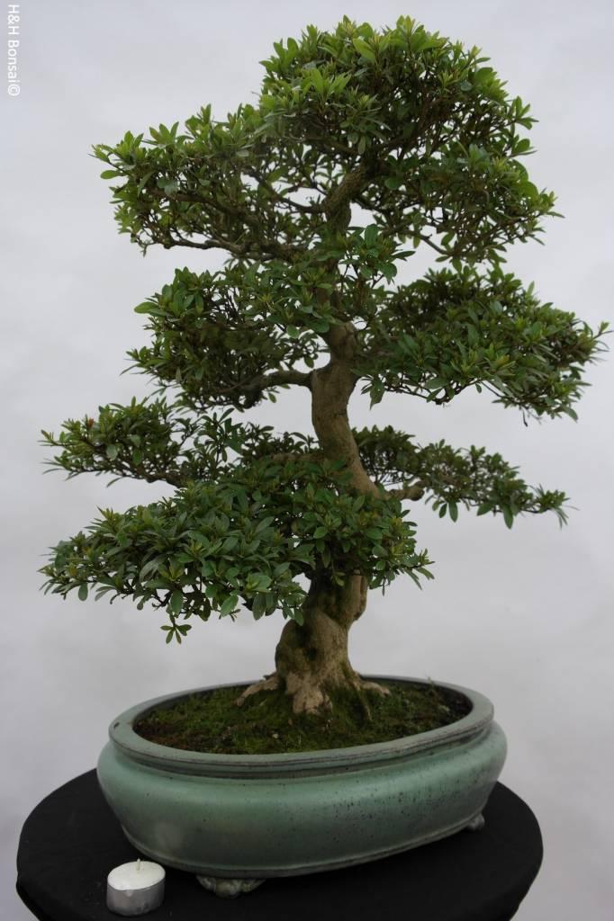Bonsai Azalea Satsuki Akane, no. 5876