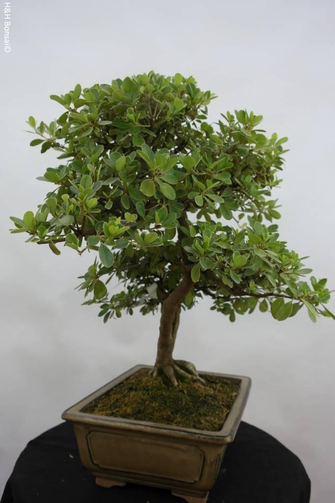 Bonsai Azalea Satsuki Kunpu, no. 5942