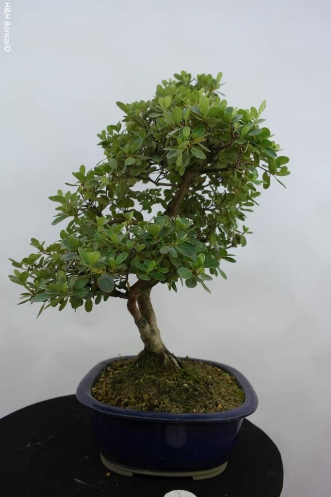 Bonsai Azalea Satsuki Kunpu, no. 5944