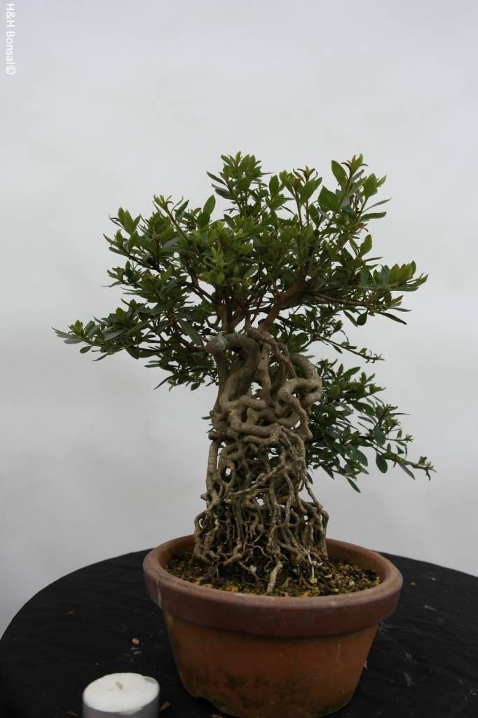 Bonsai Azalea Satsuki Koun, no. 6470