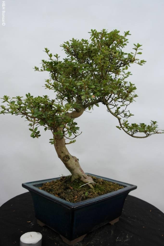 Bonsai Azalea SatsukiKakuo, no. 5981
