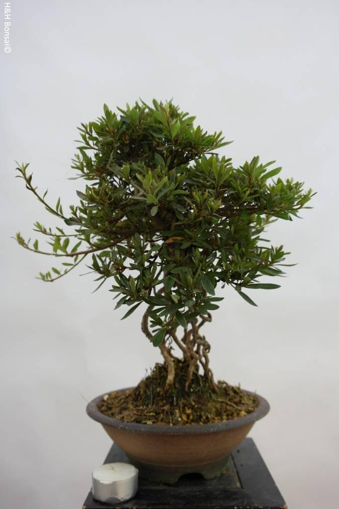 Bonsai Azalea Satsuki Byakuren, no. 6427