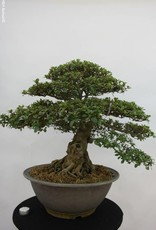 Bonsai Azalea Satsuki, no. 5878