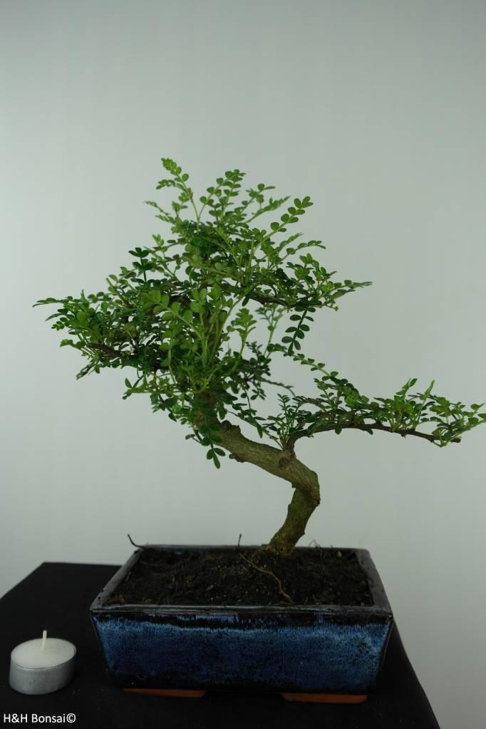 Bonsai Japanese Pepper, Zanthoxylum piperitum, no. 6543