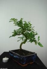 Bonsai Japanese Pepper, Zanthoxylum piperitum, no. 6544