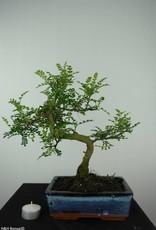 Bonsai Japanese Pepper, Zanthoxylum piperitum, no. 6545