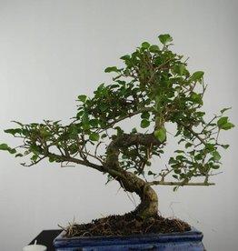 Bonsai Privet,Ligustrum sinense, no. 6550