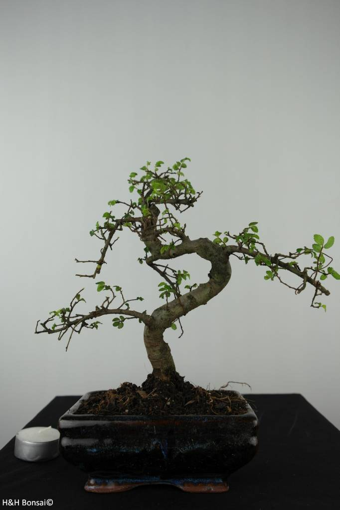 Bonsai Chinese Elm, Ulmus, no. 6580