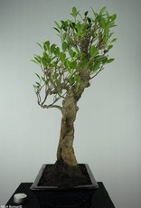 Bonsai Fig Tree, Ficus retusa, no. 6595