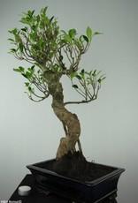 Bonsai Fig Tree, Ficus retusa, no. 6595