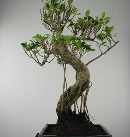 Bonsai Fig Tree, Ficus retusa, no. 6600