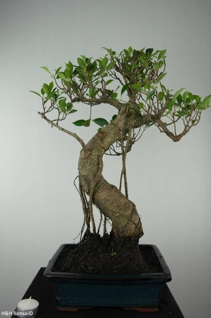 Bonsai Fig Tree, Ficus retusa, no. 6600