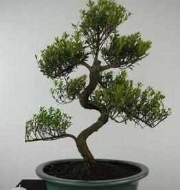 Bonsai Syzygium sp., no. 6604