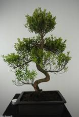Bonsai Syzygium sp., no. 6605