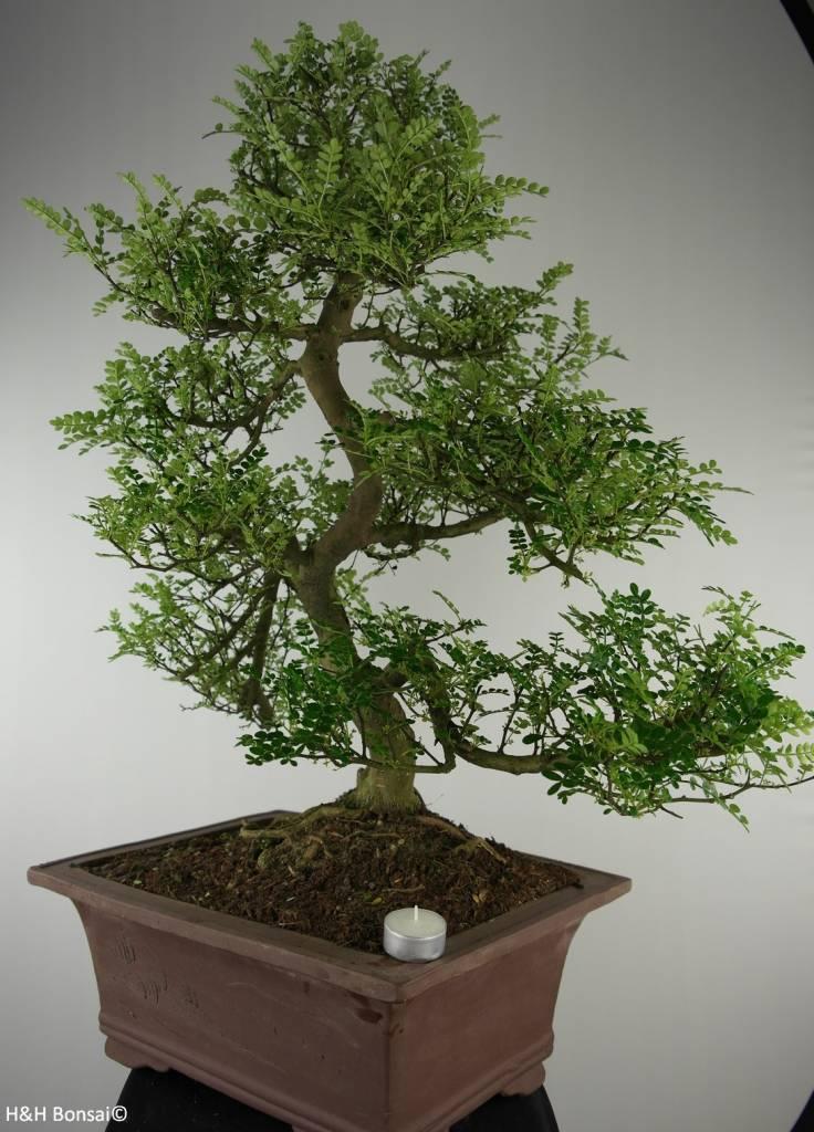 Bonsai Japanese Pepper, Zanthoxylum piperitum, no. 6606