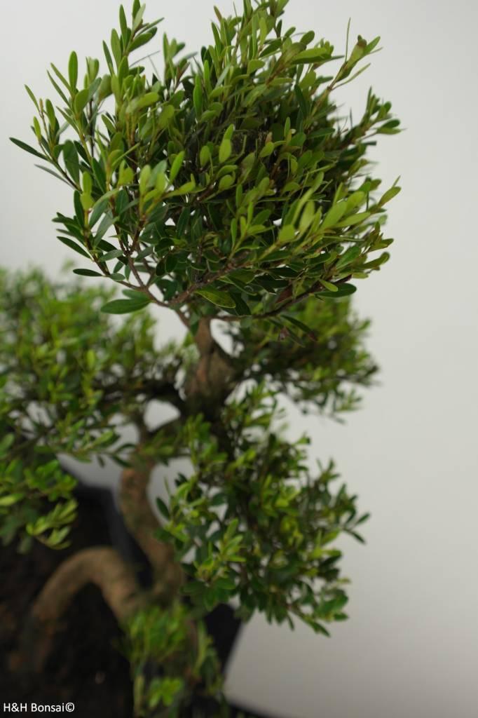 Bonsai Syzygium sp., no. 6607