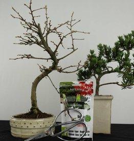 Bonsai gift set Combi Golden Larch and Buddhist Pine, no. G46