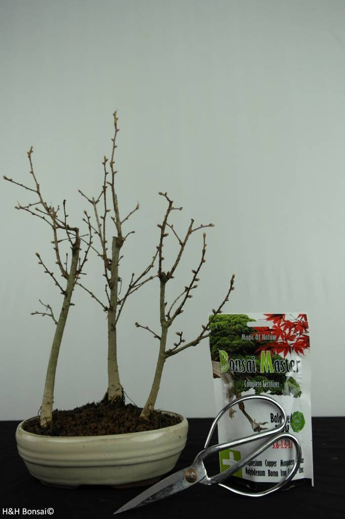 Bonsai gift set Golden Larch, no. G47