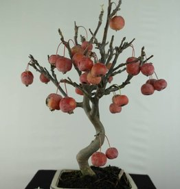 Bonsai Hall crab apple, Malus halliana, no. 6611