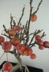 Bonsai Hall crab apple, Malus halliana, no. 6611