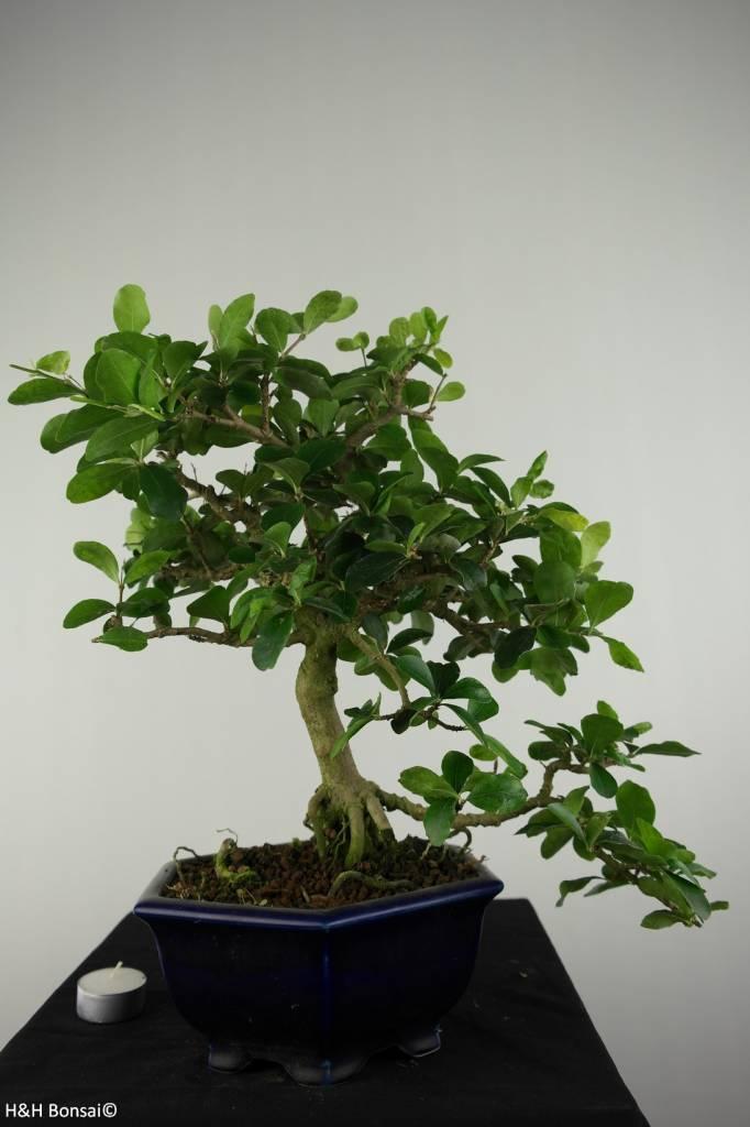 Bonsai Barbados Cherry, Malpighia glabra, no. 6625