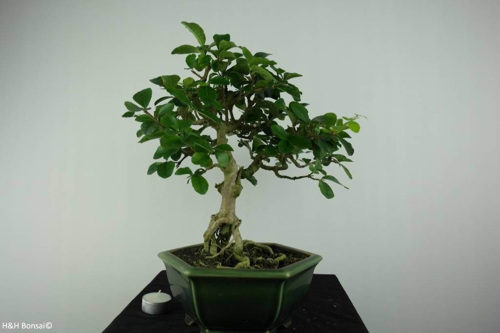 Bonsai Barbados Cherry, Malpighia glabra, no. 6626