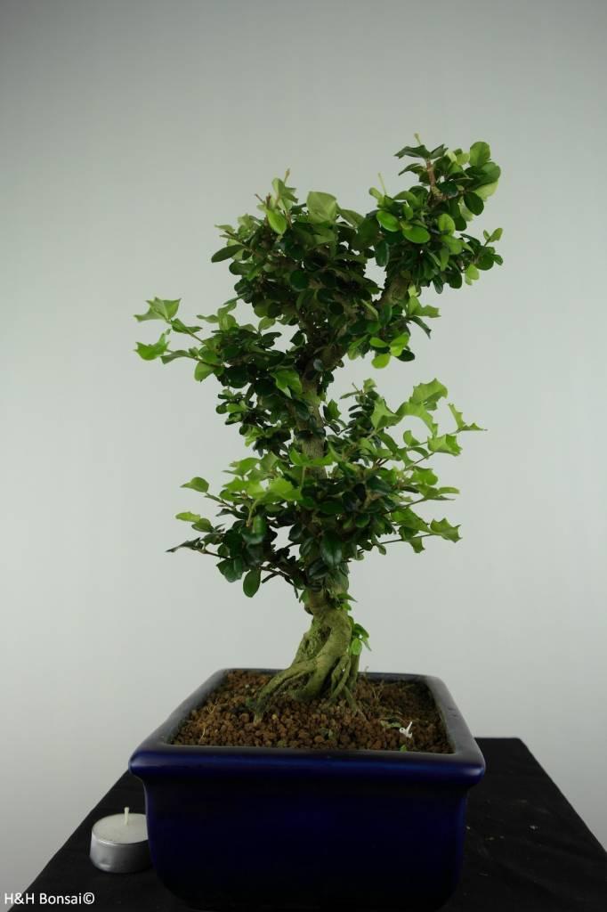 Bonsai Barbados Cherry, Malpighia coccigera, no. 6628
