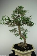 Bonsai Elaeagnus sp., no. 6629