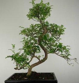 Bonsai Japanese Pepper, Zanthoxylum piperitum, no. 6647