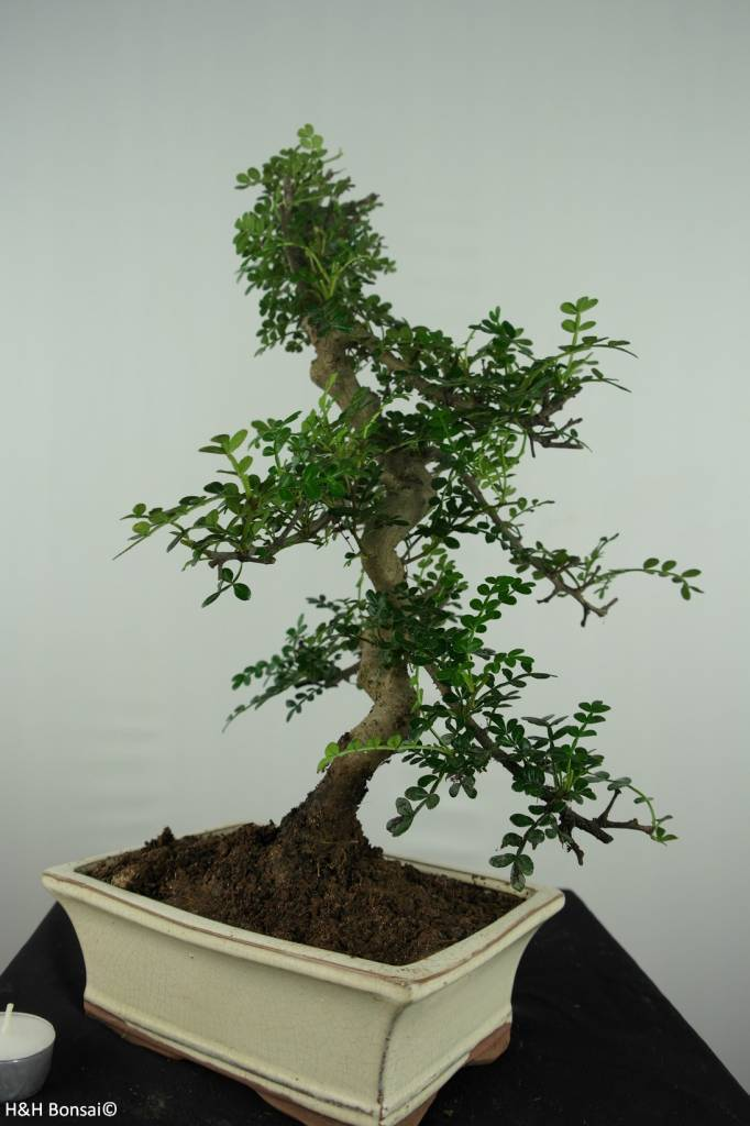 Bonsai Japanese Pepper, Zanthoxylum piperitum, no. 6657
