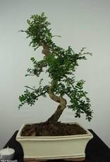Bonsai Japanese Pepper, Zanthoxylum piperitum, no. 6657