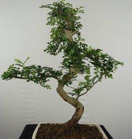 Bonsai Japanese Pepper, Zanthoxylum piperitum, no. 6659