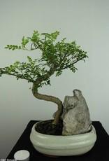 Bonsai Japanese Pepper, Zanthoxylum piperitum, no. 6663
