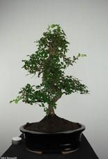 Bonsai Elm, Ulmus, no. 6684