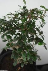Bonsai Elm, Ulmus, no. 6685