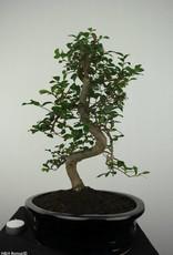 Bonsai Elm, Ulmus, no. 6688