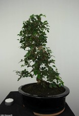 Bonsai Elm, Ulmus, no. 6689