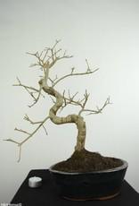 Bonsai Ash tree, Fraxinus sp., no. 6699