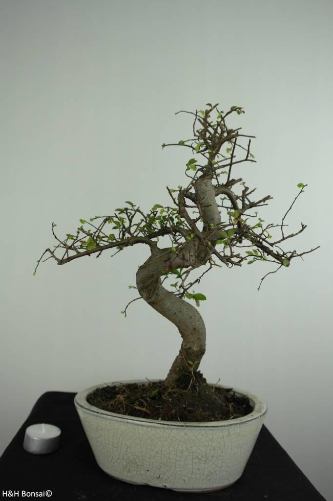 Bonsai Chinese Elm, Ulmus, no. 6708