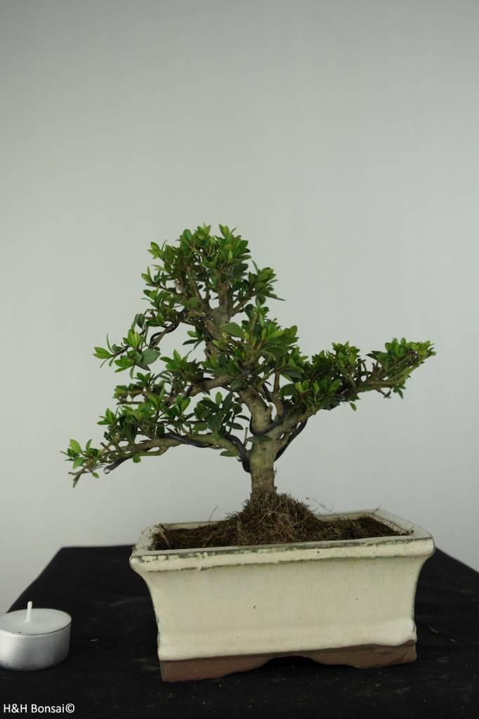 Bonsai Japanese Holly, Ilex crenata, no. 6748