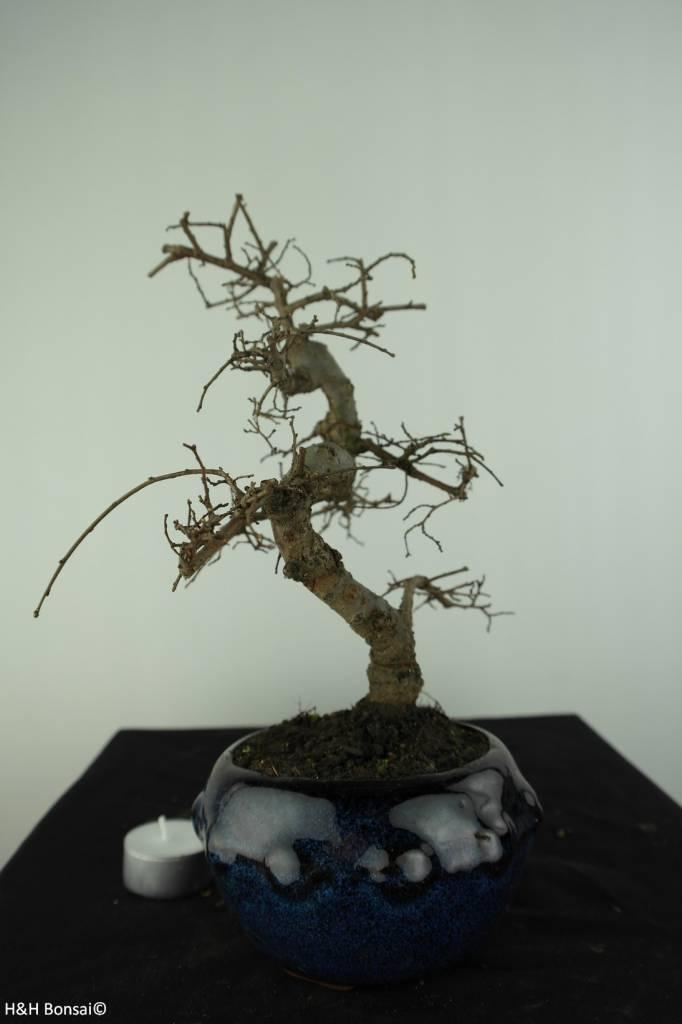 Bonsai Chinese Elm, Ulmus, no. 6764