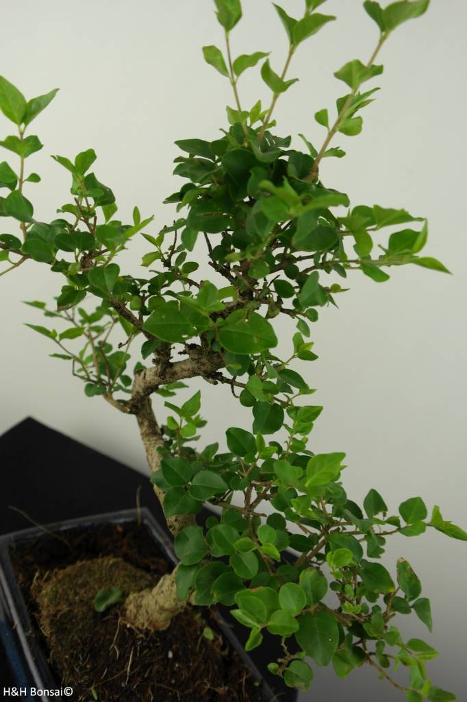 Bonsai Privet, Ligustrum nitida, no. 6836