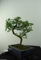 Bonsai Japanese Pepper,Zanthoxylum piperitum, no. 6841