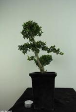 Bonsai Japanese Holly, Ilexcrenata, no. 6868