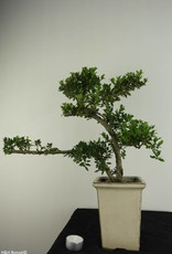 Bonsai Japanese Holly, Ilex crenata, no. 6870