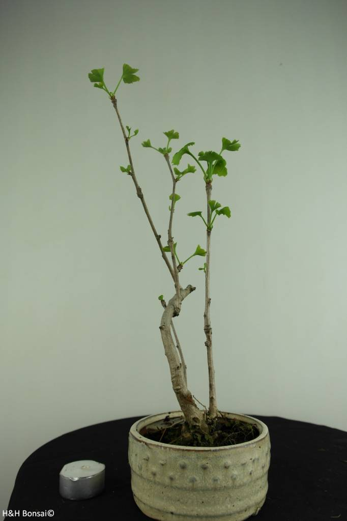Bonsai Ginkgo biloba, Maidenhair tree, no. 6309
