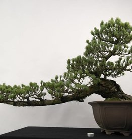 Bonsai Pino a cinque aghi, Pinus penthaphylla, no. 5163