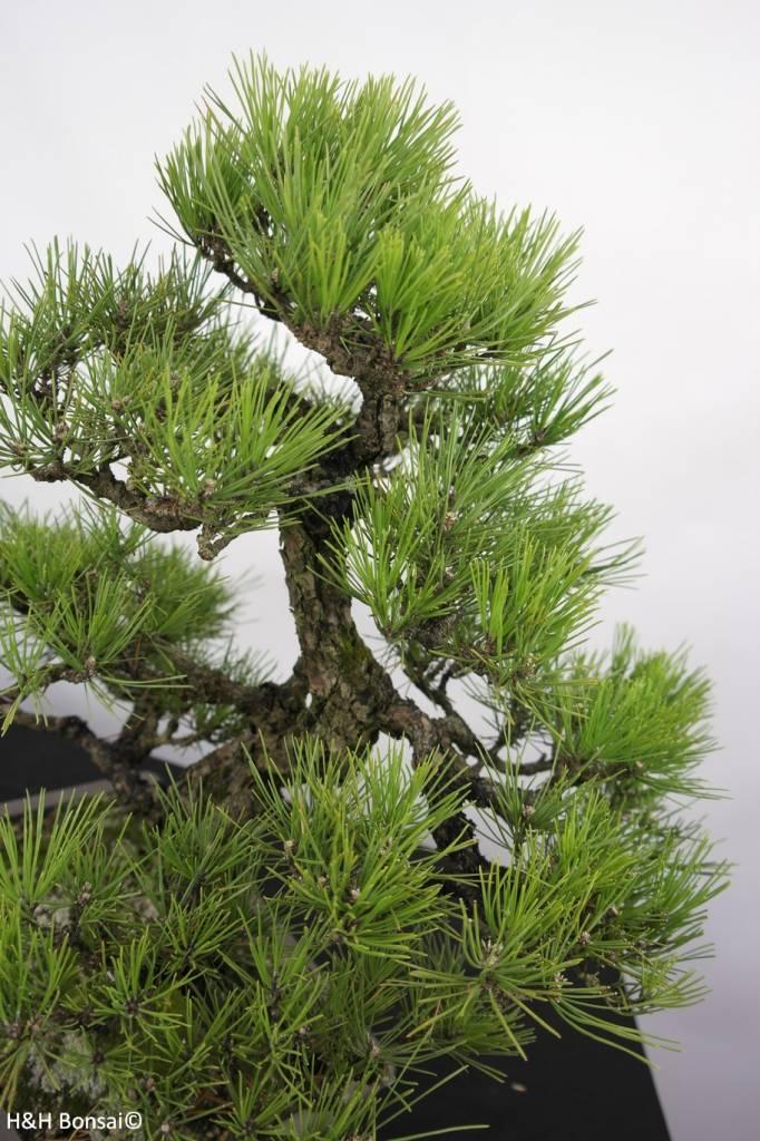Bonsai Japanese Black Pine, Pinus thunbergii, no. 5168