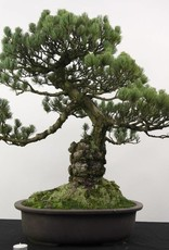 Bonsai White pine, Pinus penthaphylla, no. 5174