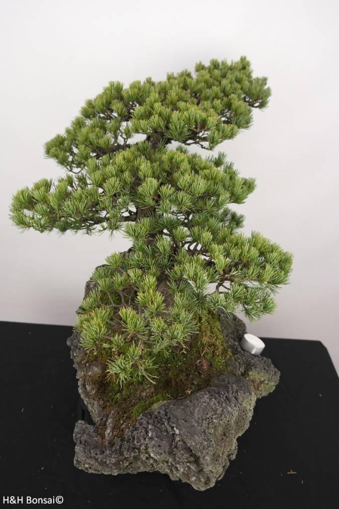 Bonsai Pino a cinque aghi, Pinus penthaphylla, no. 5177